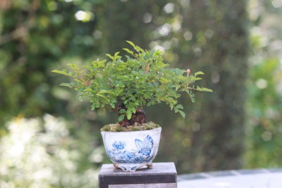 die besten 25 mini bonsai ideen auf pinterest bonsai baum preis japanischer bonsaibaum und. Black Bedroom Furniture Sets. Home Design Ideas