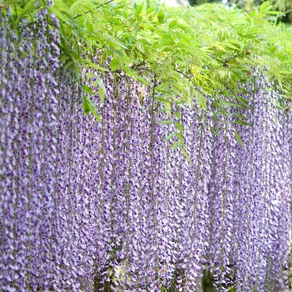 glycine du japon multijuga wisteria floribunda plante grimpante fleurs les glycines. Black Bedroom Furniture Sets. Home Design Ideas