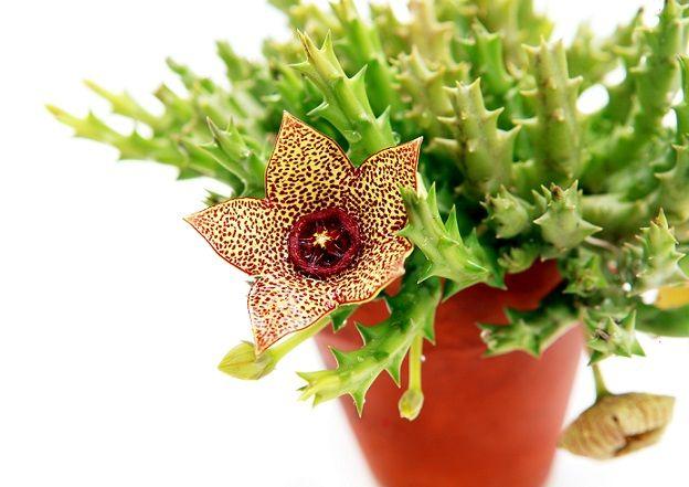 Najciekawsze W Uprawie Sukulenty Doniczkowe Galeria I Zdjecia Planting Flowers Plants Succulents