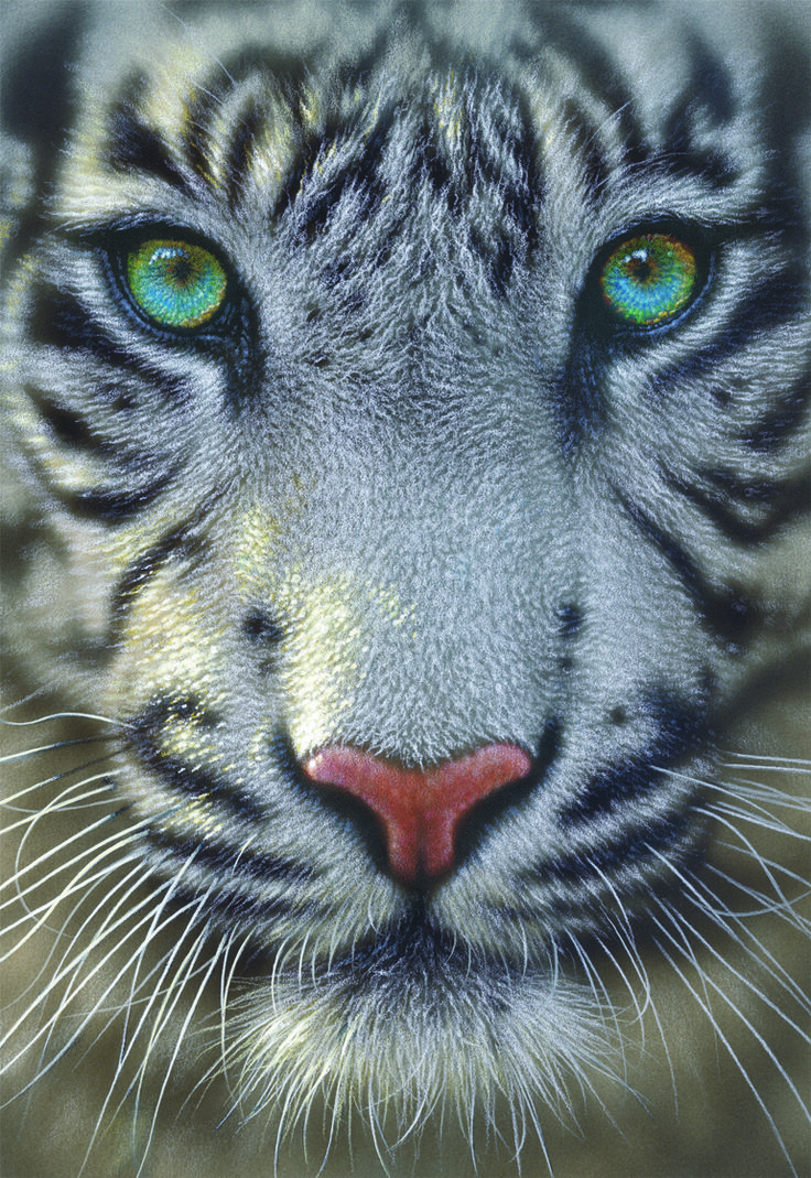 1000+ images about Tigre blanco on Pinterest | Beautiful ...