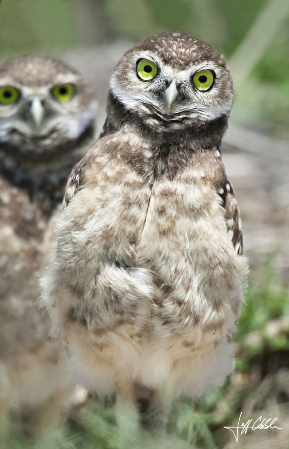 The Weebles 'Burrowing Owls - by Michelle Cobble [500px]