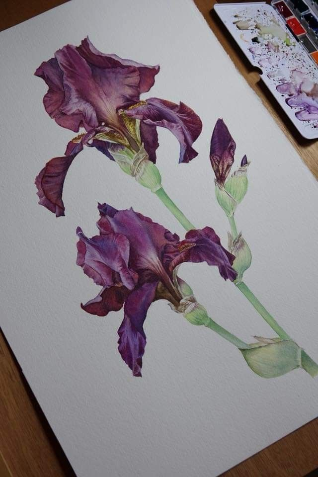 Pin By Bobbiscorner On Watercolor Iris Painting Botanical Art