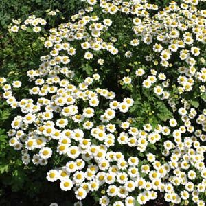 Feverfew Plant= a good perennial plant to plant around deck to repel mosquitoes. Loves full sun but will tolerate partial sun. Blooms from July to October!