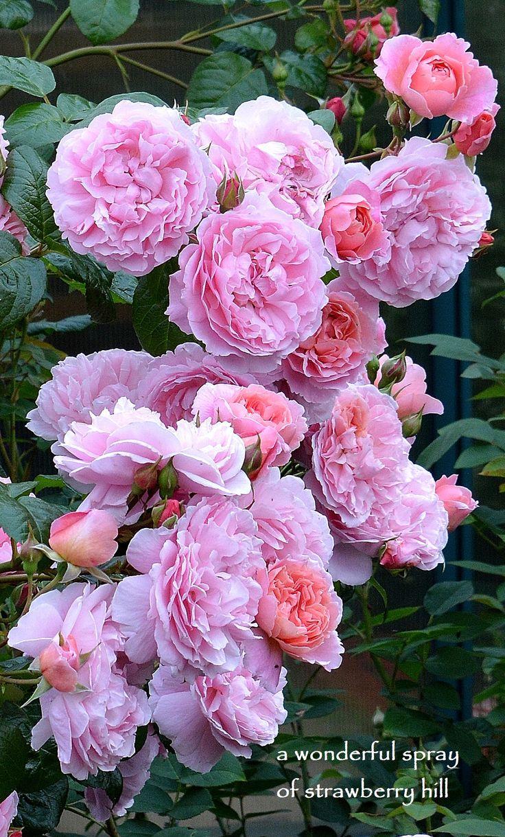 David Austin Rose Strawberry Hill