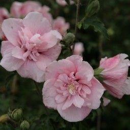 Arbustes à floraison automnale, pour prolonger l'été au jardin!
