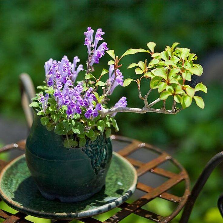 ドウダンツツジのミニ盆栽。飛び込みのタツナミソウが満開に。鉢は常滑の秀峰。陶盤は益子の陶器市で求めた格安の食器です。 #ミニ盆栽 #盆栽 #ガーデニング #山野草 #タツナミソウ#庭 #ガーデン #bonsai #bonsaï