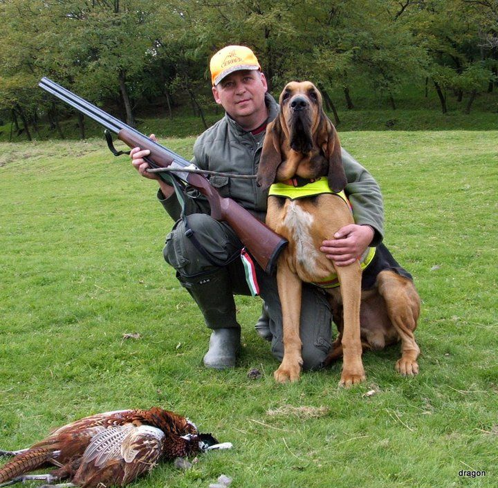 Bloodhound hunting dogs