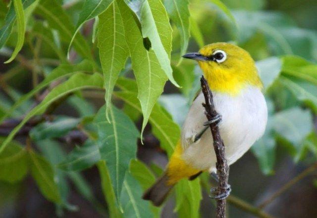 Burung Pleci Montanus (baymonttampa.com)