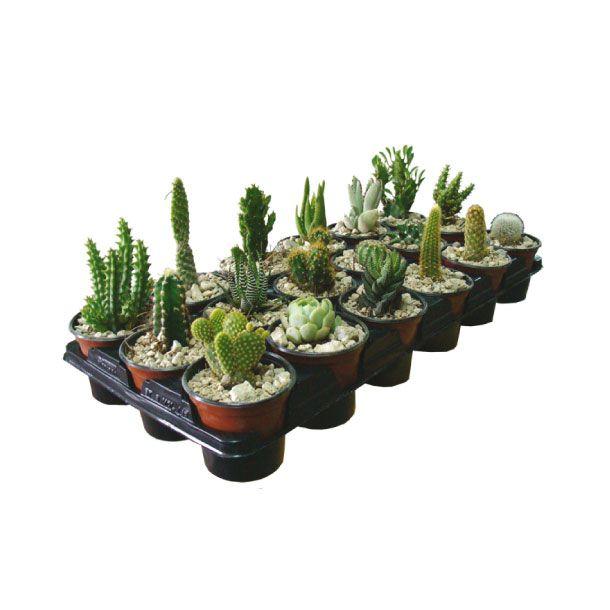 Ideal para adornos de escritorio no exigen cuidados - Plantas de exterior ...