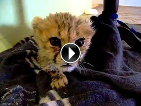 Avoir un bébé #guépard super mignon à la maison c'est possible : http://www.minion.fr/avoir-un-bebe-guepard-super-mignon-a-la-maison-c-est-possible/146/