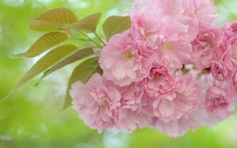 сакура, листья