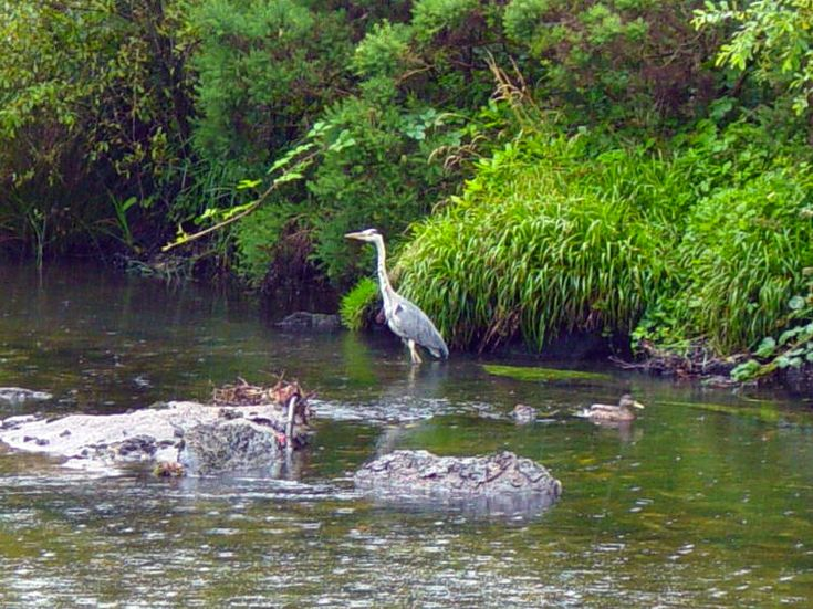 A heron fishing in the Afon Glaslyn