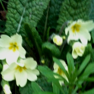 The primrose is my favourite flower - only the wild kind you get in the ditches in Ireland though
