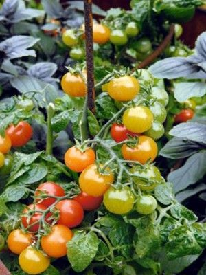 Plant your own tomatoes
