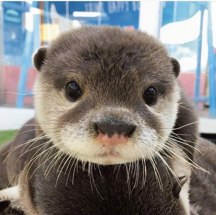 Bitte Folgen Sie Iloveotters Boopable Snoot Otter Otters Cute Babyotter Lustige Bilder Tiere Susse Tiere Tierbabys Bilder