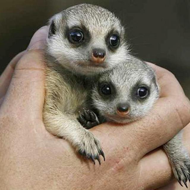 Baby meerkats: Meerkat Manor, Tiny Animal, Meerkat Baby, Animal Photo, Animal Babes, Baby Animal, Baby Meerkat, Meerkat Pup, Adorable Animal
