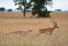 Passage To Africa - Grumeti - Tanzania #Cheetah #Buck #chase