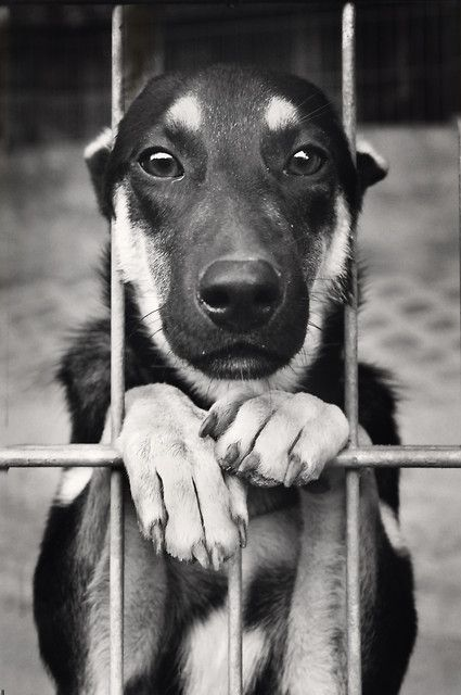 i hope it is his home and not the pound, that face is so beautiful / German Shepard
