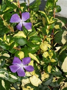 Spiller: Vinca major 'Wojo's Gem' is a variegated evergreen, prostrate, mat-forming plant with long trailing stems that is widely used as a ground cover and container plant. Purple flowers. Drought tolerant and hardy.