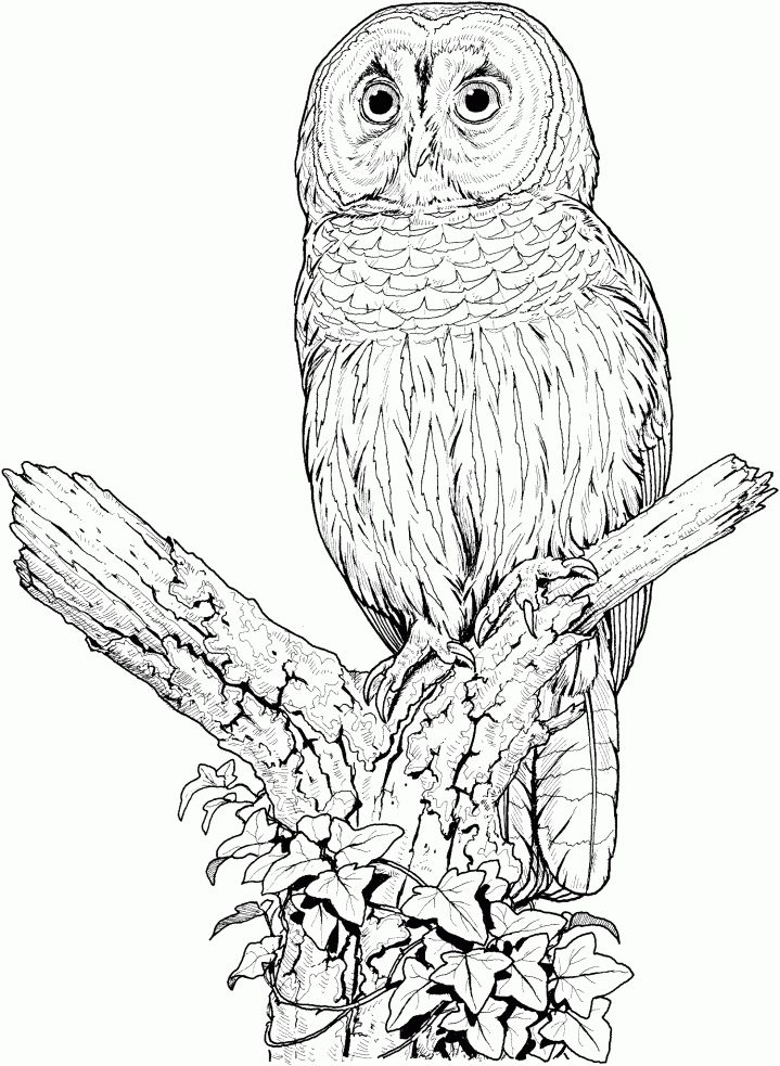 Perched Barred Owl Coloring Page From Owls Category Select 27278 Printable Crafts Of Cartoons Nature Animals Bible And Many More
