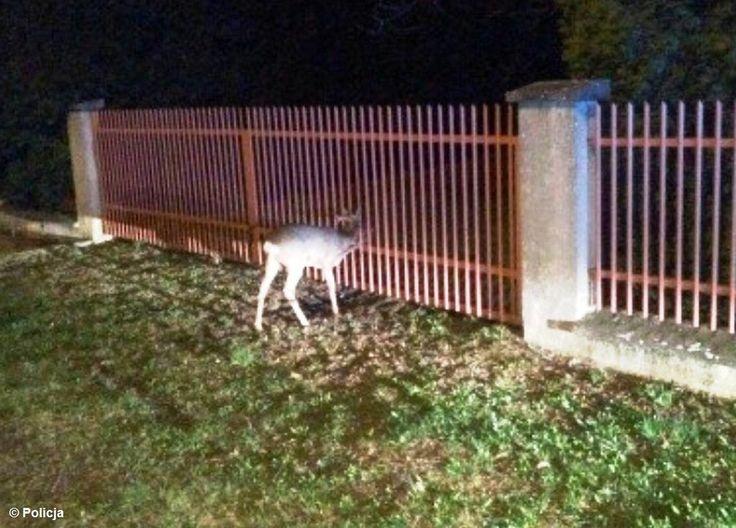 Mały koziołek utknął w ogrodzeniu#Bobrek #sarna #kozioł #policja #straż #ogrodzenie