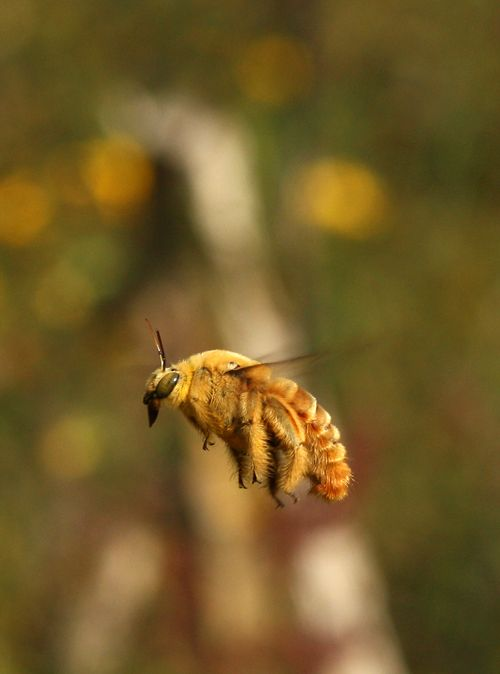 Golden Giant Carpenter Bee  - Dino Martins