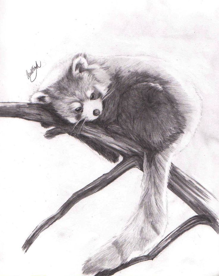 332 best RED PANDAS images on Pinterest  Red pandas Digital art