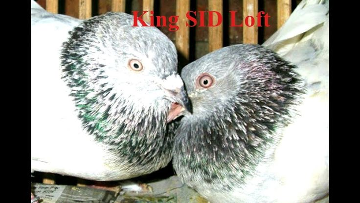 Pakistani high flyer pigeons breeding loft and cages show daily activity...
