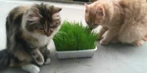 Katten eten graag planten om de maag te reinigen. Kattengras bevat veel foliumzuur en helpt tegen haarballen. Voornamelijk bij binnenkatten is gras onmisbaar.