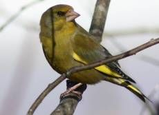 Hören Sie die Grünfink auf deutsche-vogelstimmen.de, welches eine umfassende Sammlung an deutschen Vogelstimmen ist. Funktioniert auch auf Ihrem Handy!