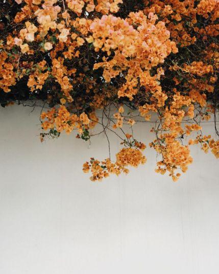 Orange bougainvillea //