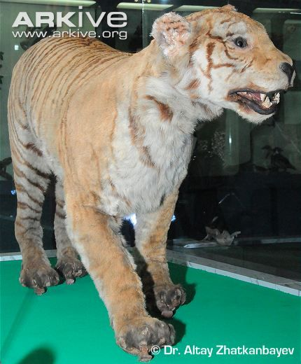 Image result for extinct tigers list