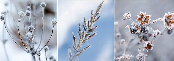 Цветник, красивый круглый год. Еще недавно тотальная уборка в цветниках считалась неотъемлемой частью осенних работ. Засыхающие стебли и соцветия срезали и выбрасывали, даже не рассматривая их как украшение сада. Сейчас отношение к ним совершенно изменилось, и нередко цветоводы специально высаживают растения, умеющие красиво умирать.