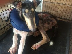 Houston Collie Rescue: Tomball TX Seizure. Yes HCR has 93 total Collies  placed in our care by the  Federal Court. How can you help? ***We are accepting donations via our Paypal button (on the website) or mail to Houston Collie Rescue P.O. Box 526 Stafford, TX 77497