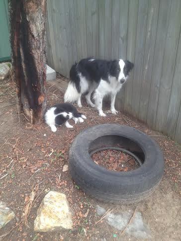 PAMMY/PADDY.........TYRED DOGS 2! dogsbigdayout.com.au