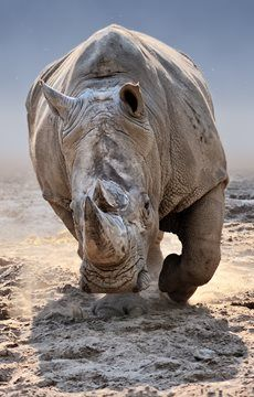 45 Random Information about Rhinoceroses