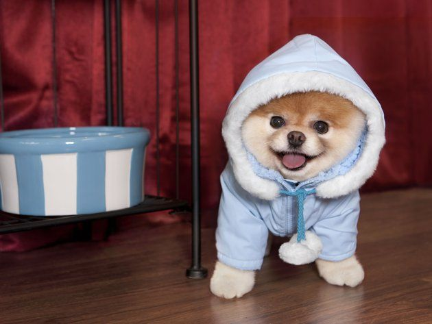 Boo, The World's Cutest Dog in a coat!!