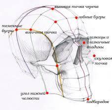 Картинки по запросу пропорции человеческого черепа