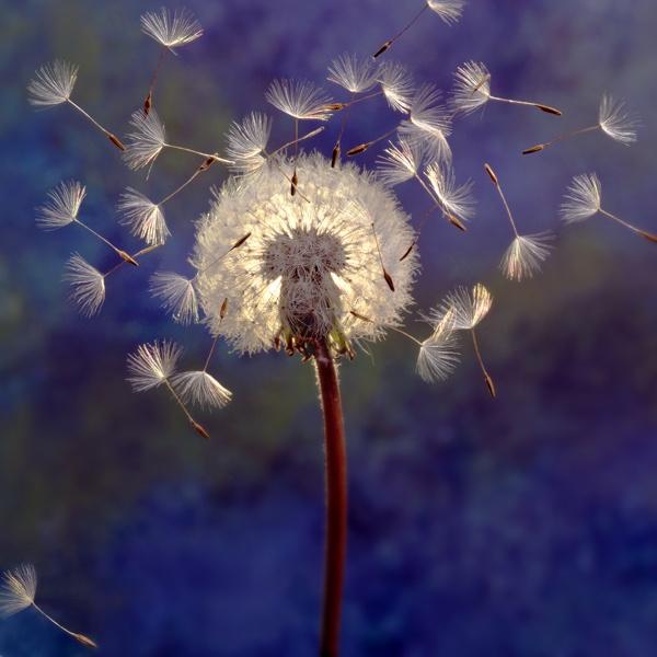 116 Best Wish Flowers Dandelions Images On Pinterest