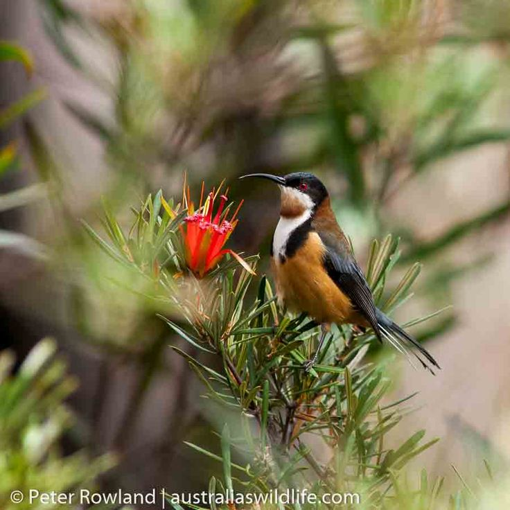 The #Eastern #Spinebill is a boldly-marked #honeyeater #aus_wildlife