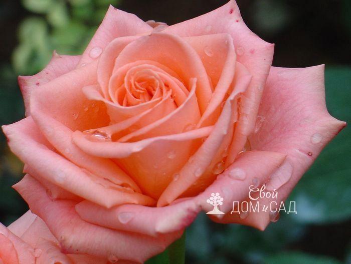 Чайные розы: посадка, уход, популярные сорта