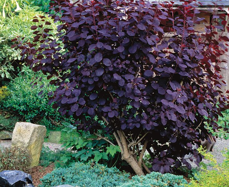The 25 best smokebush ideas on pinterest shrubs for Best low maintenance plants for shade
