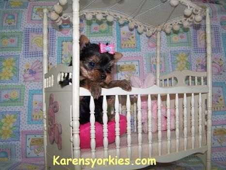 Yorkie Puppies for sale, Yorkies for sale, yorkie puppy, yorky puppies, teacup yorkies, Yorkshire terrier, Teacup Yorkie, Yorkshire Terrier, Miniature Yorkies, Breeder, Terriers Puppy, dog puppy sale