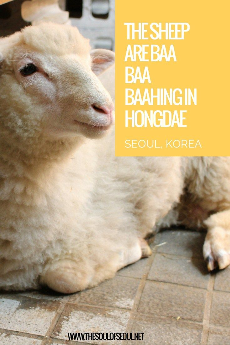 The Sheep Are Baa Baa Baahing in Hongdae, Seoul, Korea. Themed cafe in Seoul. Animal cafe. Real sheep it is a must see for anyone interested in quirky and fun places in Seoul.