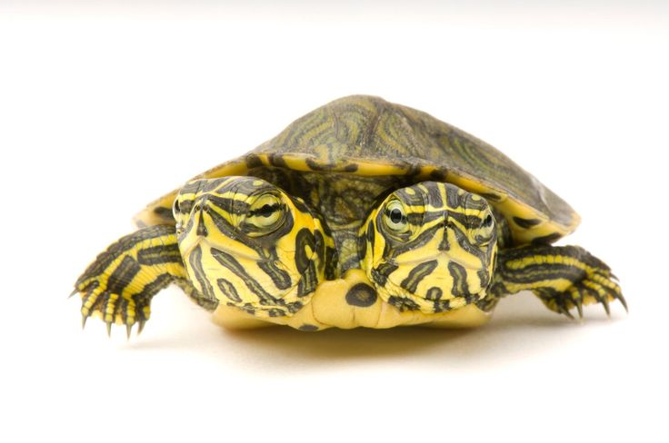 A two-headed yellow-bellied slider turtle. Photo by Joel Sartore, National Geographic Photo Ark.