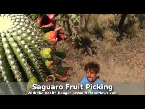 ▶ Saguaro Cactus Fruit picking with David Wolfe and the Health Ranger - YouTube