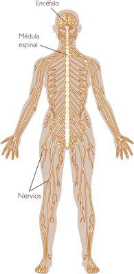 Apuntes y resúmenes de Psicología y Biología.: Biología Humana - Organización general del Sistema Nervioso
