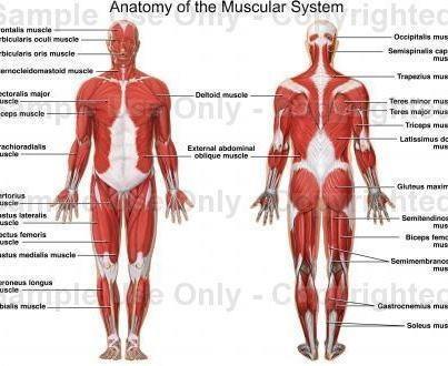 Muscular Skeletal Diagram Chest - DIY Enthusiasts Wiring Diagrams •