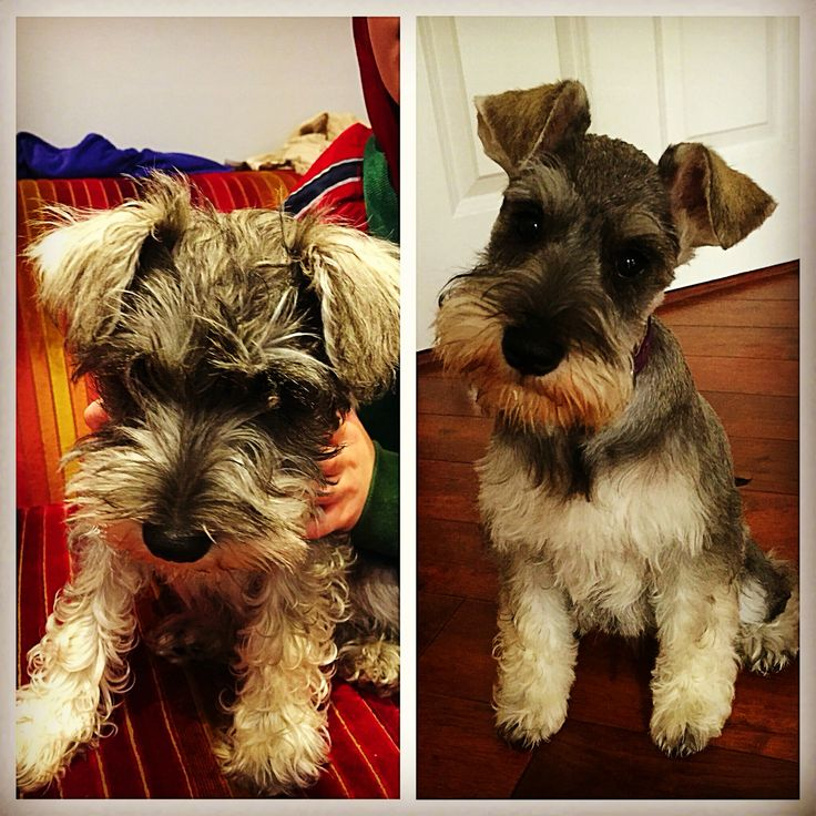 My little puppy, Kitty, had her first hair cut. Before and After. Now she looks like a schnauzer