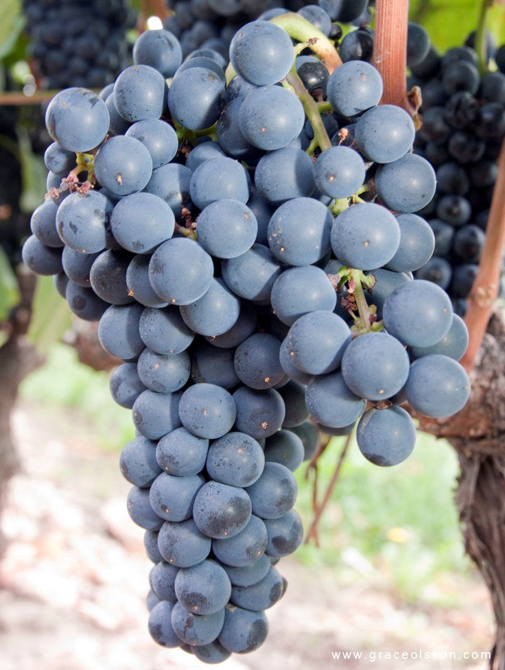Grapes from Argentina, South America